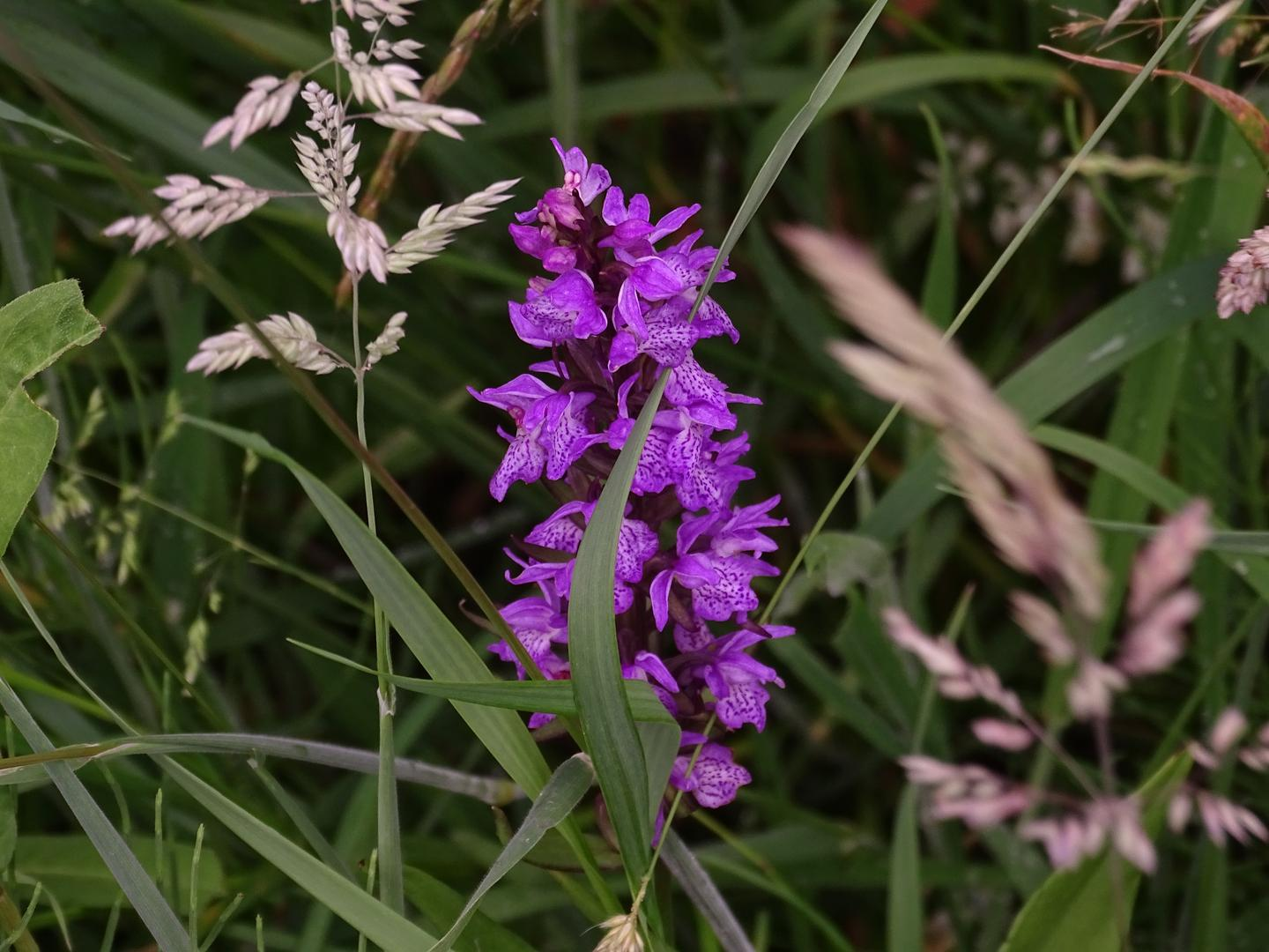 Wilde Orchis